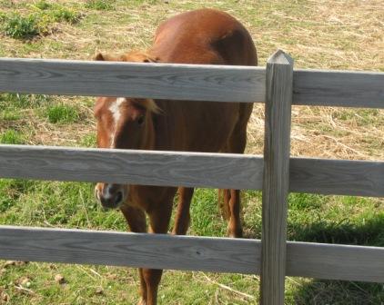 Ocracoke pony coming to say Hello